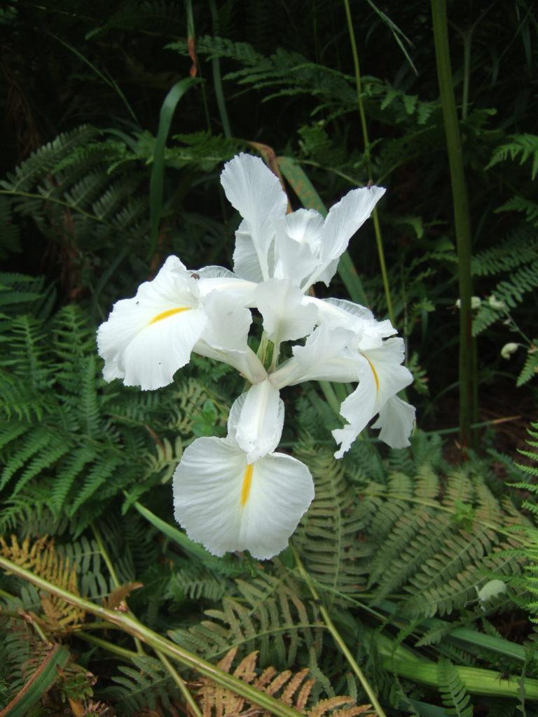 Lirio azul... blanco - Iris des Pyrénées... blanc