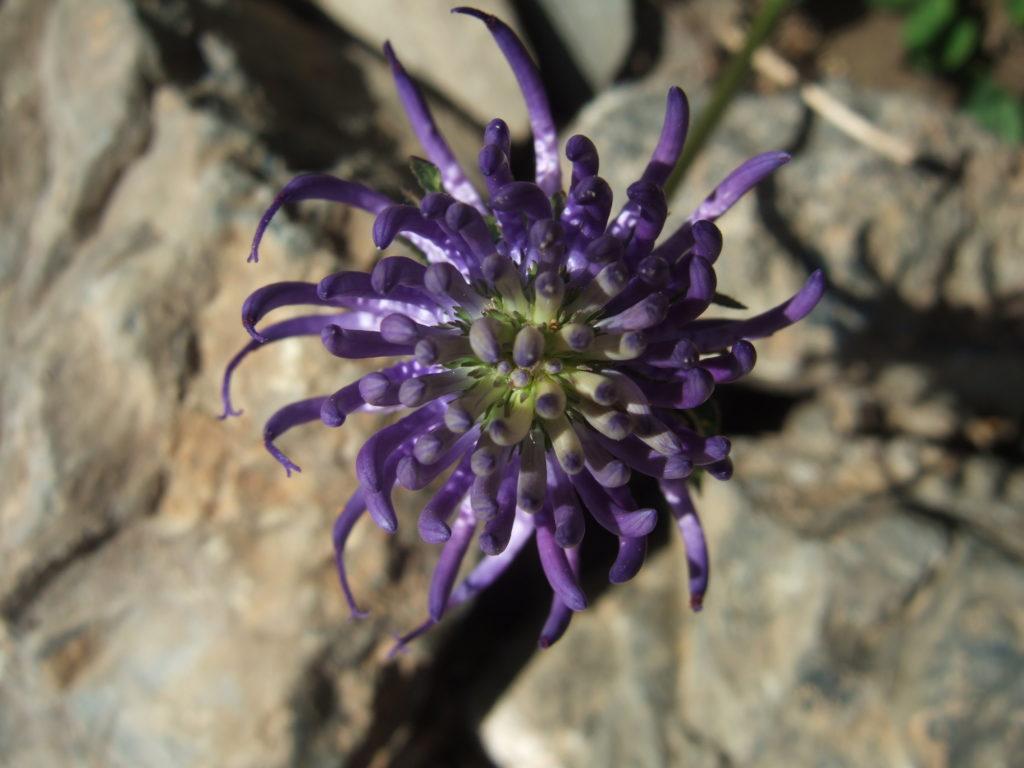 Phyteuma - Raiponce