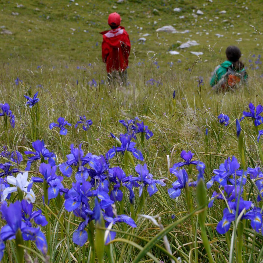 Lirio azul - Iris des Pyrénées