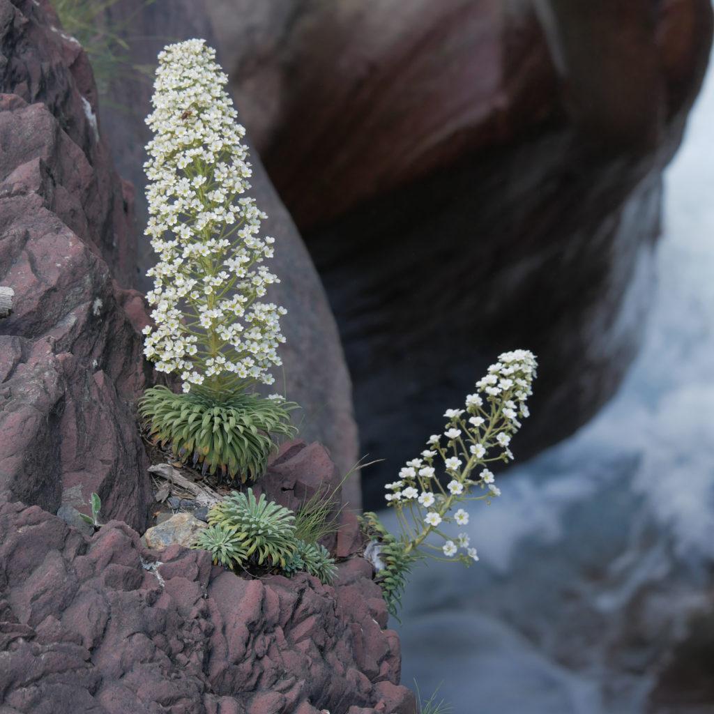 Corona de rey - Saxifrage des Pyrénées ou saxifrage à longues feuilles